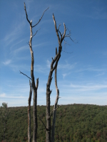 Trees at Kinzua Bridge